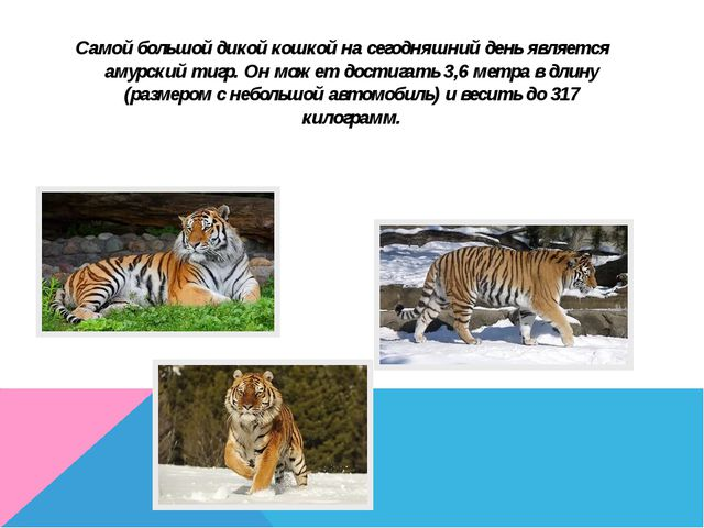 Самой большой дикой кошкой на сегодняшний день является амурский тигр. Он мож...