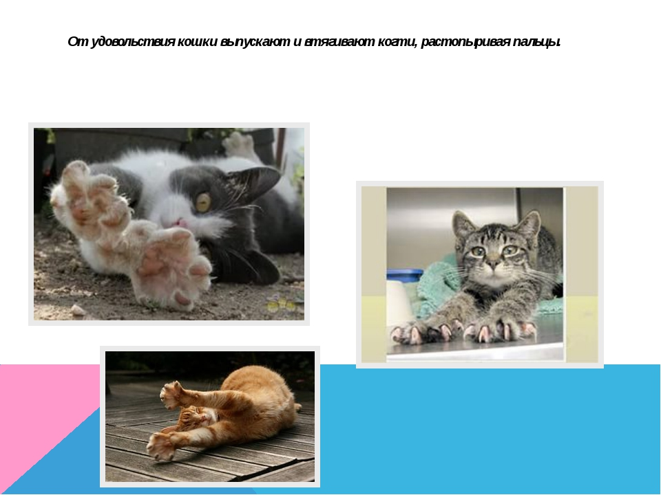 От удовольствия кошки выпускают и втягивают когти, растопыривая пальцы.