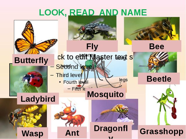 LOOK, READ AND NAME Butterfly Fly Bee Ladybird Beetle Wasp Ant Dragonfly Gras...