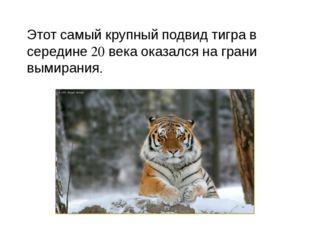 Этот самый крупный подвид тигра в середине 20 века оказался на грани вымирания.