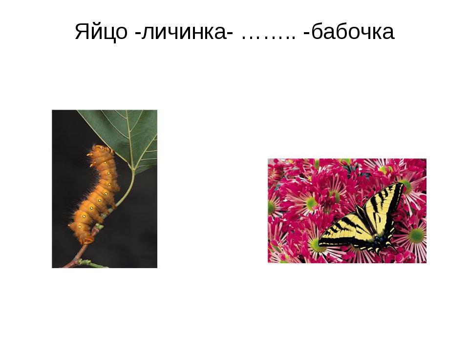 Яйцо -личинка- …….. -бабочка