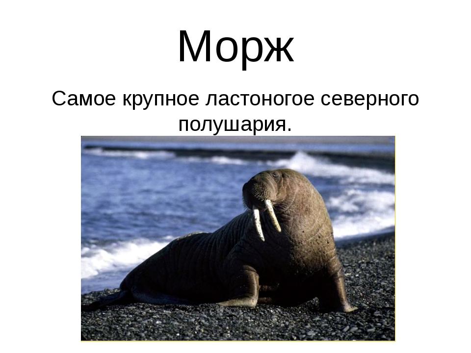 Морж Самое крупное ластоногое северного полушария.
