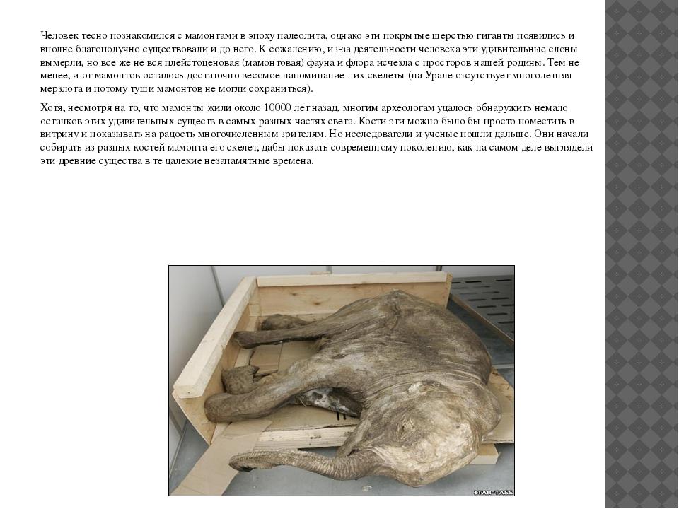 Человек тесно познакомился с мамонтами в эпоху палеолита, однако эти покрыты...