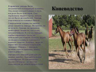 В прошлом лошадь была незаменимой помощницей человека. Она помогала крестьян