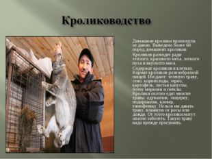 Домашние кролики произошли от диких. Выведено более 60 пород домашних кролик