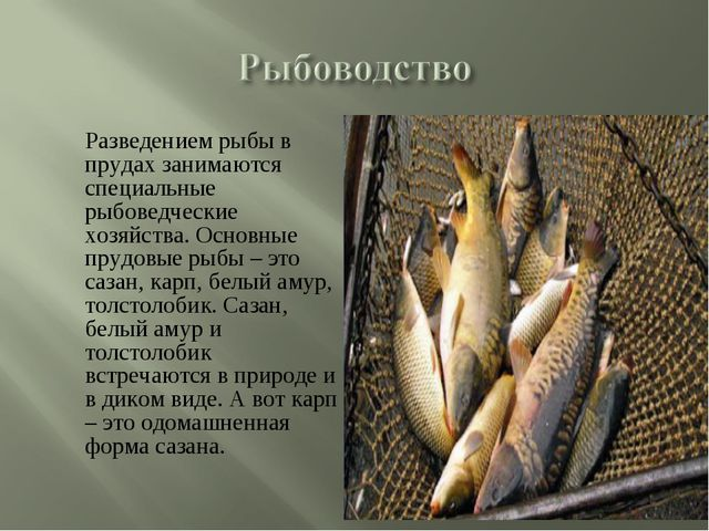 Разведением рыбы в прудах занимаются специальные рыбоведческие хозяйства. Ос...