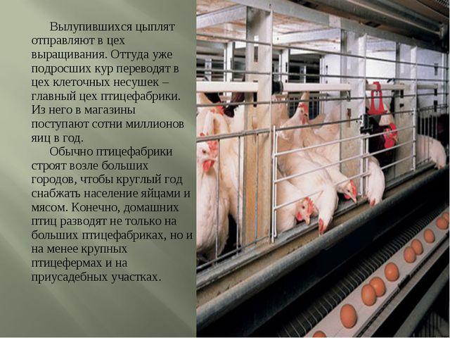 Вылупившихся цыплят отправляют в цех выращивания. Оттуда уже подросших кур...
