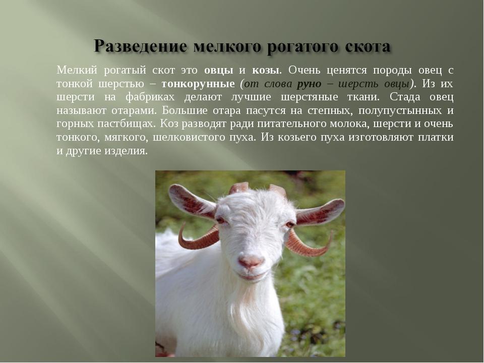 Мелкий рогатый скот это овцы и козы. Очень ценятся породы овец с тонкой шерс...