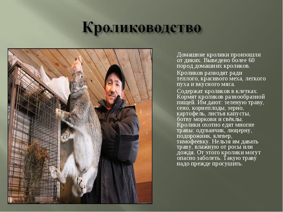 Домашние кролики произошли от диких. Выведено более 60 пород домашних кролик...