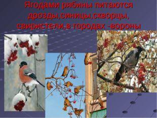 Ягодами рябины питаются дрозды,синицы,скворцы, свиристели,в городах -вороны