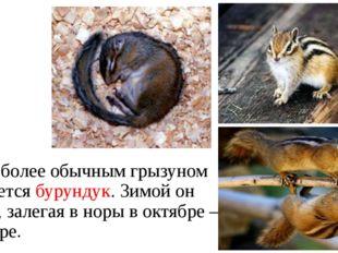Еще более обычным грызуном является бурундук. Зимой он спит, залегая в норы в
