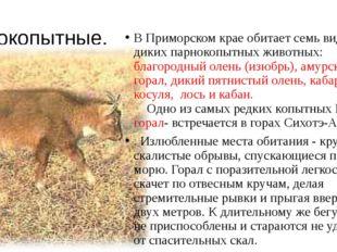 Парнокопытные. В Приморском крае обитает семь видов диких парнокопытных живот