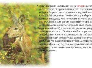 Оригинальный маленький олень кабарга весит всего до 10 кг. В отличие от други