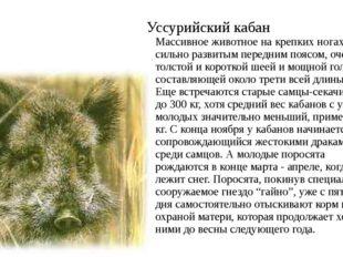 Уссурийский кабан Массивное животное на крепких ногах, с сильно развитым пере