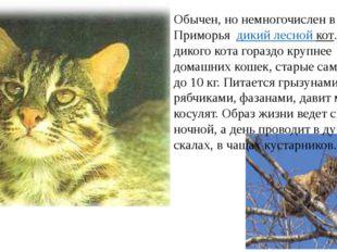 Обычен, но немногочислен в лесах Приморьядикий лесной кот. Особи дикого к