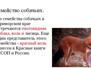 Семейство собачьих. Из семейства собачьих в Приморском крае встречаются еното