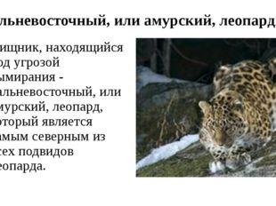 Дальневосточный, или амурский, леопард. Хищник, находящийся под угрозой вымир