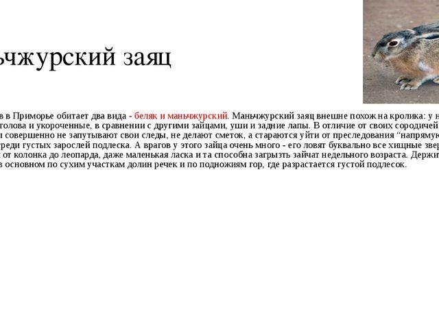 Маньчжурский заяц Из зайцев в Приморье обитает два вида - беляк и маньчжурск...