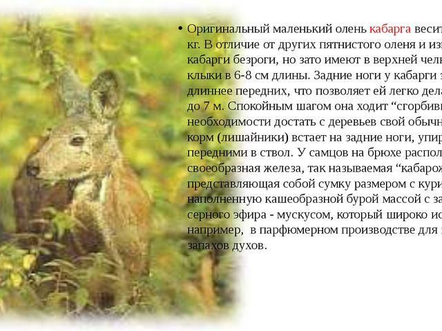 Оригинальный маленький олень кабарга весит всего до 10 кг. В отличие от други...