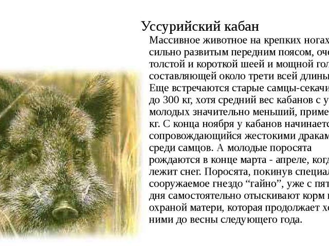 Уссурийский кабан Массивное животное на крепких ногах, с сильно развитым пере...