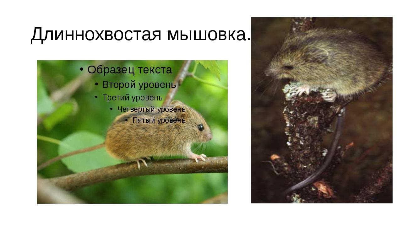 Длиннохвостая мышовка.