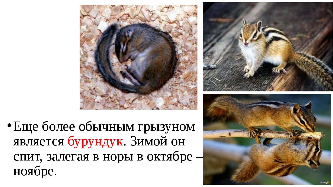 Еще более обычным грызуном является бурундук. Зимой он спит, залегая в норы в...