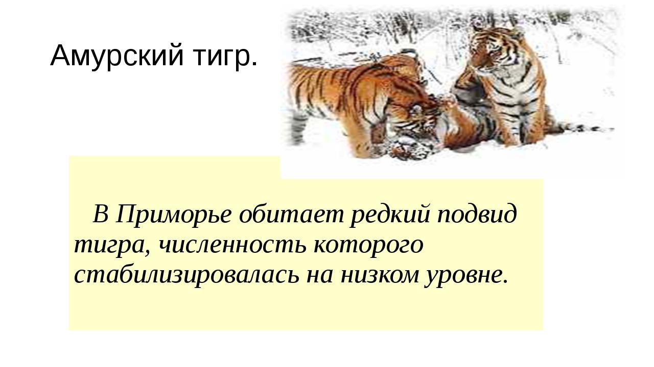 Амурский тигр. В Приморье обитает редкий подвид тигра, численность которог...