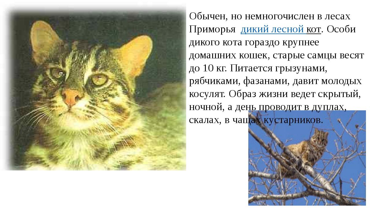 Обычен, но немногочислен в лесах Приморьядикий лесной кот. Особи дикого к...