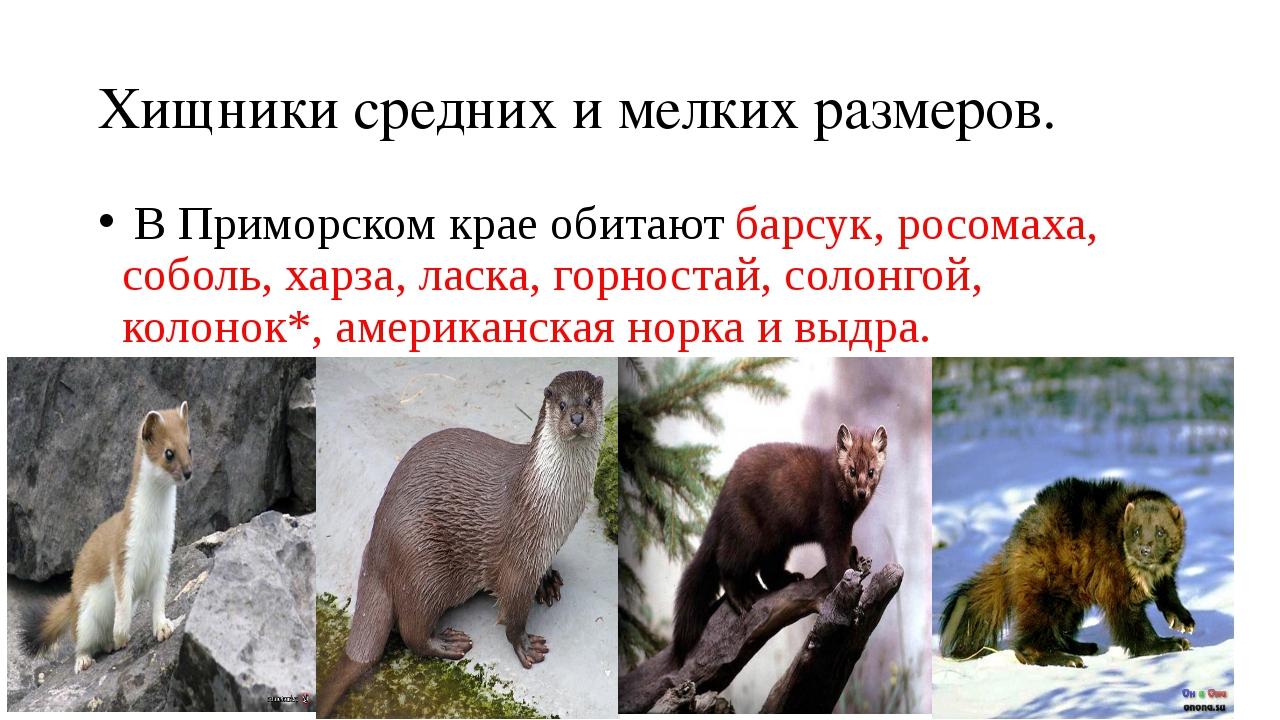Хищники средних и мелких размеров. В Приморском крае обитают барсук, росомаха...