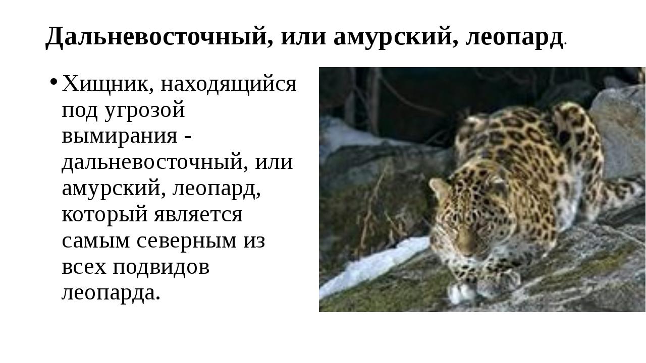 Дальневосточный, или амурский, леопард. Хищник, находящийся под угрозой вымир...