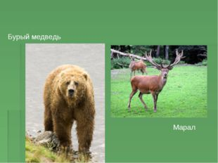 Бурый медведь Марал