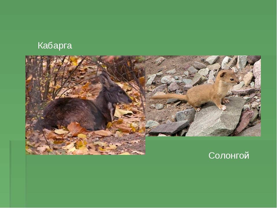 Кабарга Солонгой