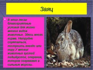 Заяц В этих лесах благоприятные условия для жизни многих видов животных. Здес