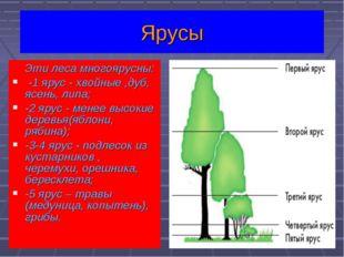 Эти леса многоярусны: -1 ярус - хвойные ,дуб, ясень, липа; -2 ярус - менее в