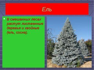 Ель  В смешанных лесах растут лиственные деревья и хвойные(ель, сосна). В см