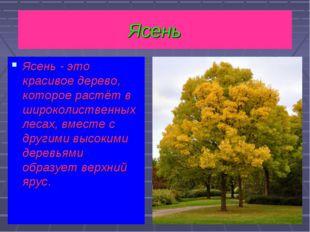 Ясень - это красивое дерево, которое растёт в широколиственных лесах, вместе