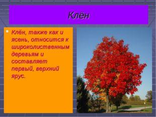 Клён Клён, также как и ясень, относится к широколиственным деревьям и составл