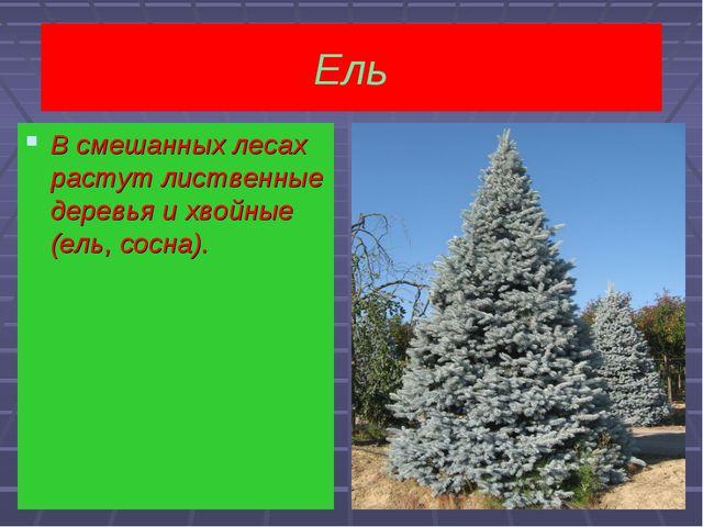 Ель  В смешанных лесах растут лиственные деревья и хвойные(ель, сосна). В см...