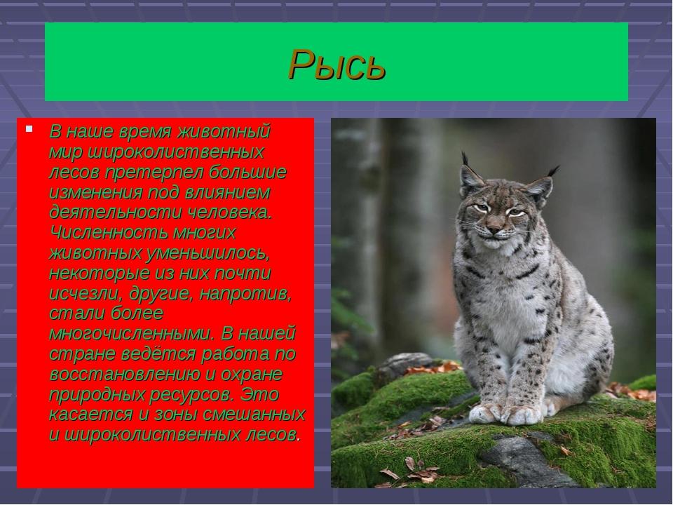 Рысь В наше время животный мир широколиственных лесов претерпел большие измен...