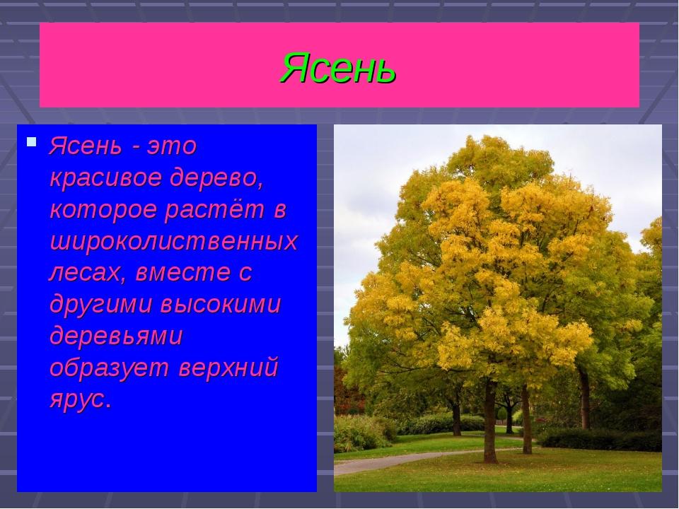 Ясень - это красивое дерево, которое растёт в широколиственных лесах, вместе...