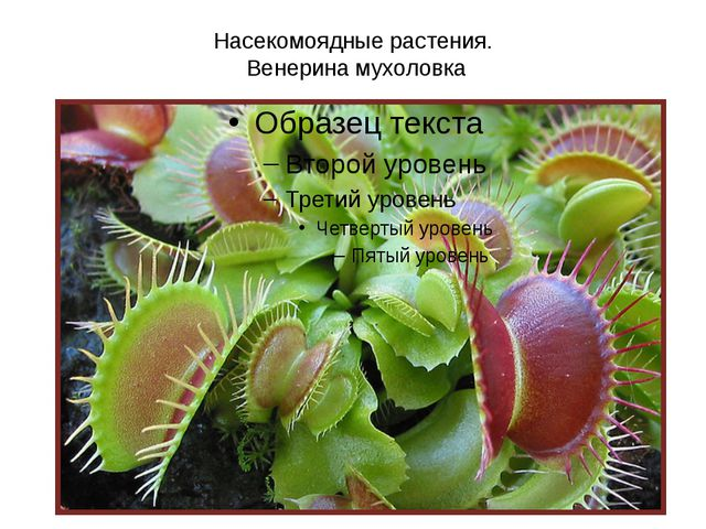 Насекомоядные растения. Венерина мухоловка