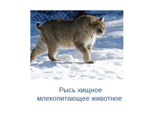 Рысь хищное млекопитающее животное
