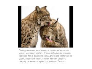 Повадками они напоминают домашнюю кошку: урчат, мяукают, шипят. У них небольш