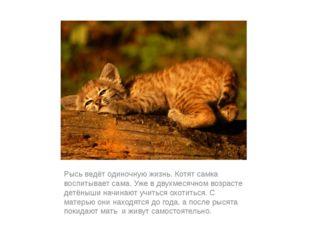 Рысь ведёт одиночную жизнь. Котят самка воспитывает сама. Уже в двухмесячном