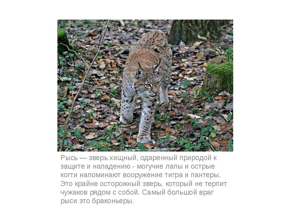 Рысь — зверь хищный, одаренный природой к защите и нападению - могучие лапы и...