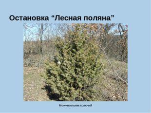 """Остановка """"Лесная поляна"""" Можжевельник колючий"""