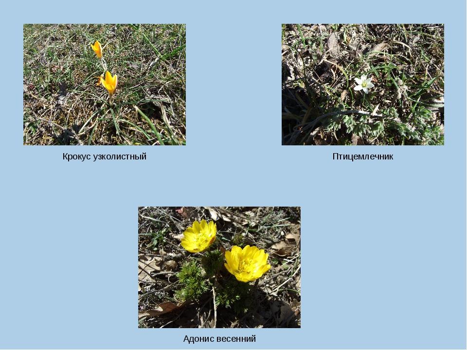 Крокус узколистный Птицемлечник Адонис весенний