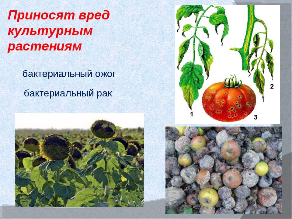 Приносят вред культурным растениям бактериальный ожог бактериальный рак
