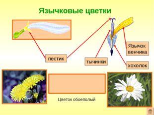 Язычковые цветки Формула цветка: ^Ч0Л(5)Т(5)П1 пестик Язычок венчика Цветок о