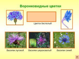 Воронковидные цветки Формула цветка: ^или*Ч0Л(5)Т0П0 Цветок бесполый Василек